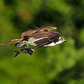 Osprey Inflight At Blue Cypress Lake by Bill Dodsworth