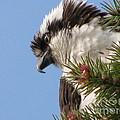 Osprey  by Leone Lund