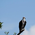Osprey by Michelle Constantine