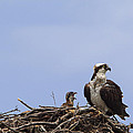 Osprey Mother And Chick by Stephanie McDowell