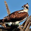 Osprey On A Windy Morning by Bill Dodsworth