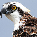 Osprey Profile by Rick Mann
