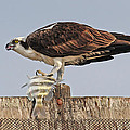 Osprey With Catch by Dave Mills