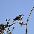Osprey With Catch I by Christine Stonebridge