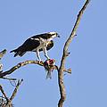 Osprey With Catch II by Christine Stonebridge