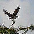 Osprey With Lunch by Kathy Ricca