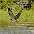 Osprey With Rainbow Trout by Dennis Hammer