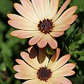 Osteospermum Named Sunadora Palermo by J McCombie