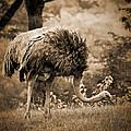Ostrich by Arne Hansen