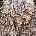 Ostrich Fluff by Alycia Christine