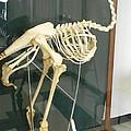 Ostrich Skeleton by Warren Thompson