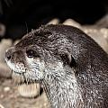 Otter by Dawn OConnor