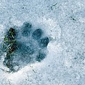 Otter Footprint In Snow by Duncan Shaw