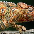 Oustalets Chameleon Furcifer Oustaleti by Ingo Arndt