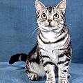 Outstanding American Shorthair Cat by Larry Allan