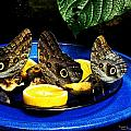 Owl Butterflies by Suzanne  McClain