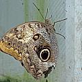 Owl Butterfly by Tony Murtagh