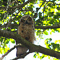 Owl In Central Park by Diana Haronis