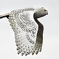 Owl In Flight by Pierre Leclerc Photography
