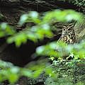 Owl In Woodland, Sachsische Schweiz by Norbert Rosing