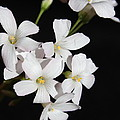 Oxalis Flowers 3 by Kume Bryant