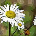 Oxeye Daisy by Paul Mashburn