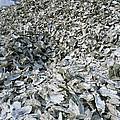 Oyster Shells by Alan Sirulnikoff