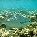 Pacific Chub 1080113.jpg by Michael Peychich