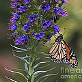 Pacific Grove Monarch by Jim And Emily Bush
