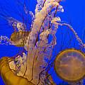 Pacific Sea Nettle Chrysaora Fuscescens by Suzi Eszterhas