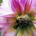 Pacific Treefrog On A Dahlia Flower by David Nunuk