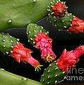 Paddle Cactus Flowers