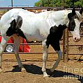 Paint Stallion - Black And White by Cheryl Poland