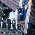 Painted Goat by T C Hoffman