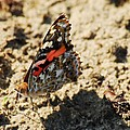 Painted Lady 8591 3341 by Michael Peychich