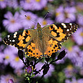 Painted Lady Among The Asters by Doris Potter