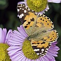 Painted Lady Butterfly by Adrian Bicker