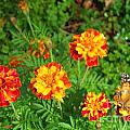 Painted Lady Butterfly In The Marigolds  by Nancy Patterson