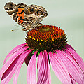Painted Lady Butterfly by Kathy Clark