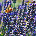 Painted Lady Butterfly On Lavender Flowers by Paul Topp