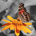 Painted Lady Butterfly On Zinnia by Jim And Emily Bush