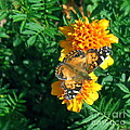 Painted Lady  by Nancy Patterson