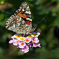Painted Lady by Randall Ingalls
