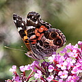 Painted Lady by Travis Truelove