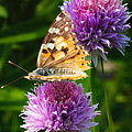 Painted Lady -vanessa Cardu by Bill Tiepelman