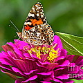 Painted Lady With Zinnia by Byron Varvarigos