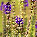 Painted Purple Sage Salvia by Kathy Clark