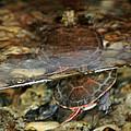 Painted Turtle by LeeAnn McLaneGoetz McLaneGoetzStudioLLCcom
