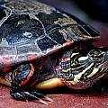 Painted Turtle Michigan by LeeAnn McLaneGoetz McLaneGoetzStudioLLCcom