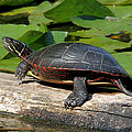 Painted Turtle On Log by Doris Potter